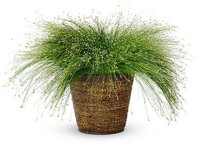 Fiber Optic Grass  Isolepsis - Thriller